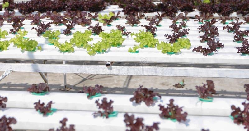 Овощи органические и Hydroponic капуста овощей растя внутри стоковая фотография