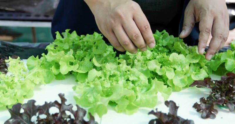 Овощи органические и Hydroponic капуста овощей растя внутри стоковые фотографии rf