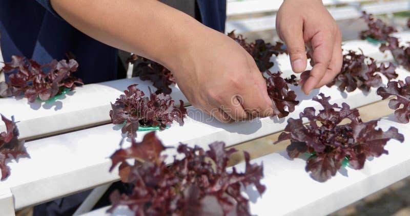 Овощи органические и Hydroponic капуста овощей растя внутри стоковое фото