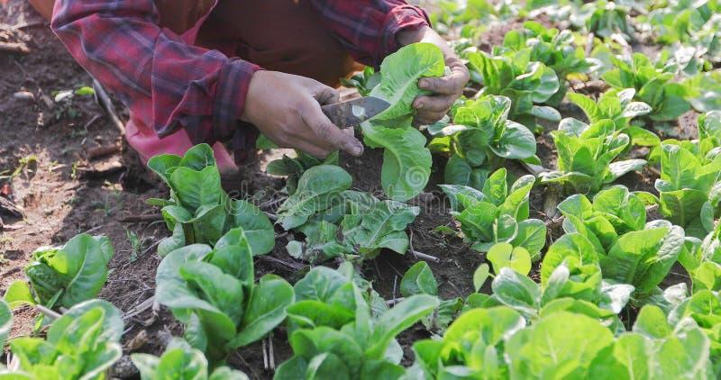 Овощи органические и Hydroponic капуста овощей растя внутри стоковые изображения