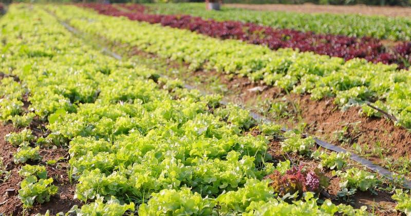 Овощи органические и Hydroponic капуста овощей растя внутри стоковое изображение
