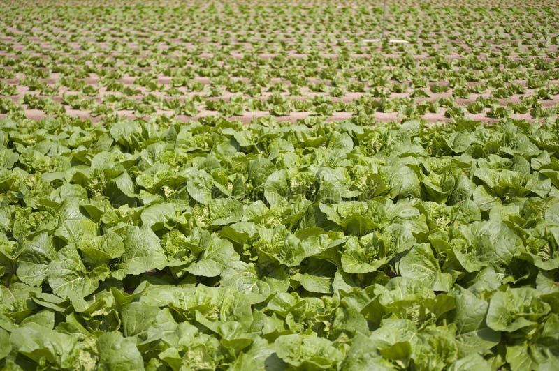 овощи поля густолиственные стоковые изображения rf