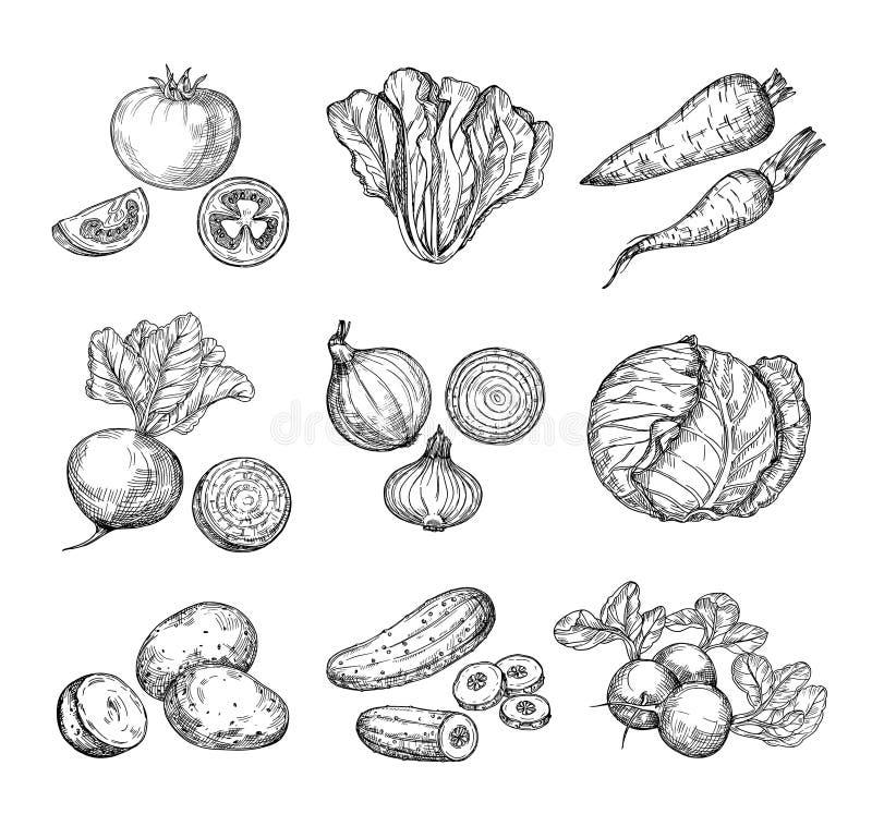 Овощи эскиза Свежие томат, огурец и моркови, картошки Луки, редиска и капуста нарисованные рукой Овощ сада иллюстрация вектора