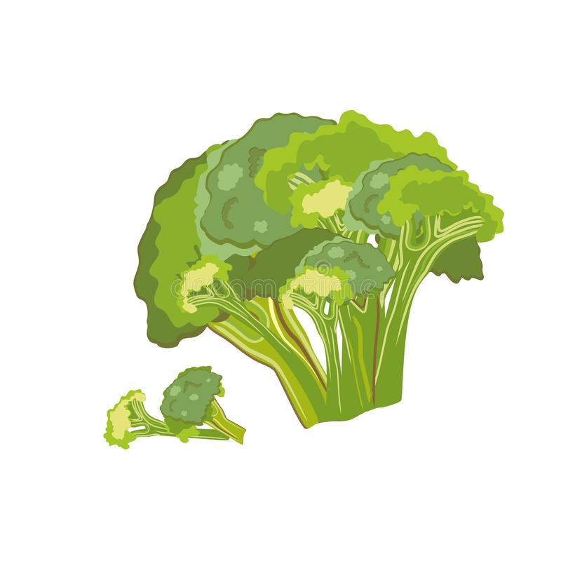 Broccoli cabbage vegetable whole and pieces, healthy food. Vector illustration. royalty free illustration