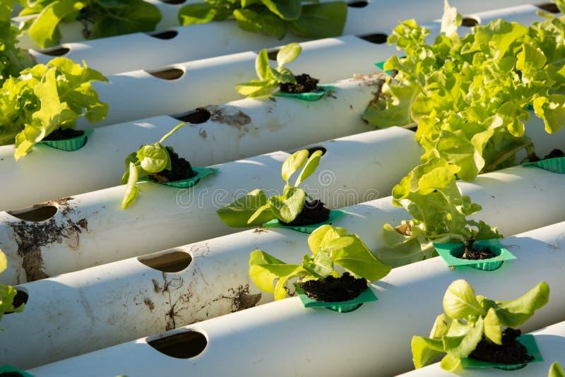 Овощ гидропоники органический hydroponic в ферме культивирования стоковые фото