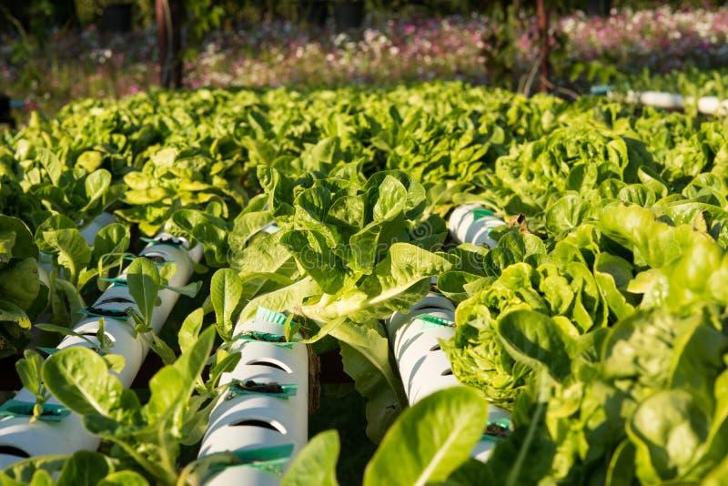 Овощ гидропоники органический hydroponic в ферме культивирования стоковое изображение rf
