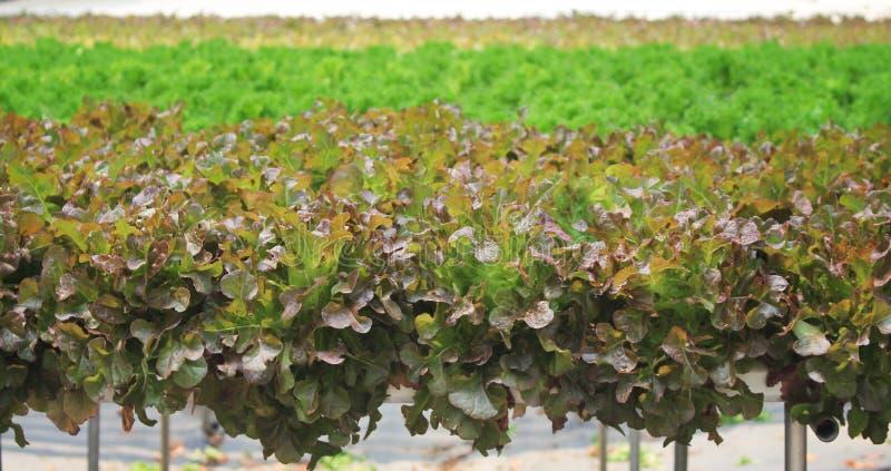 Овощ красного и зеленого салата салата romaine cos органический в ферме гидропоники стоковая фотография rf
