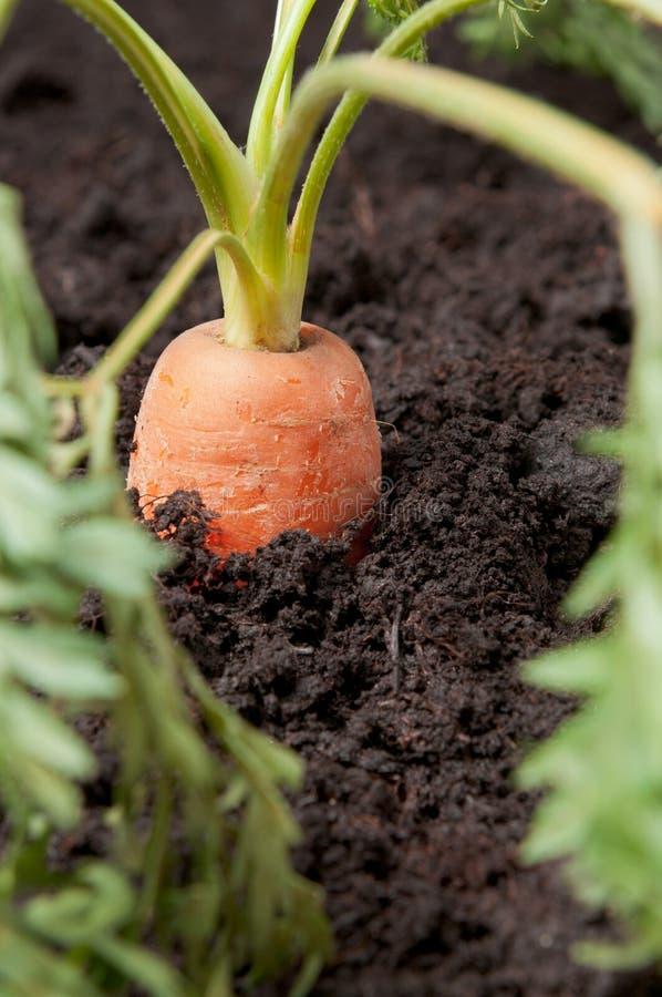 овощ моркови свежий стоковое фото