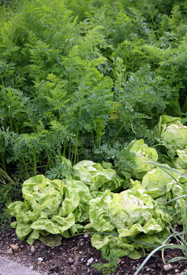 овощ салата сада морковей кровати стоковые изображения rf