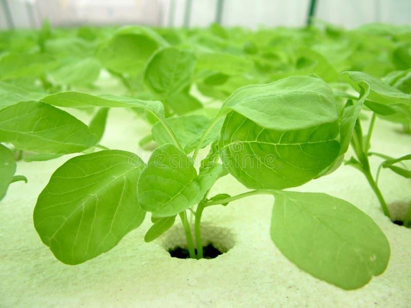 овощ hydroponics стоковые фотографии rf