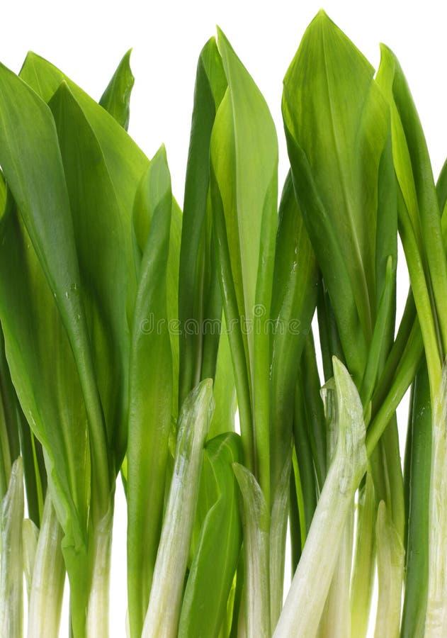 овощ ramson пука стоковые изображения rf