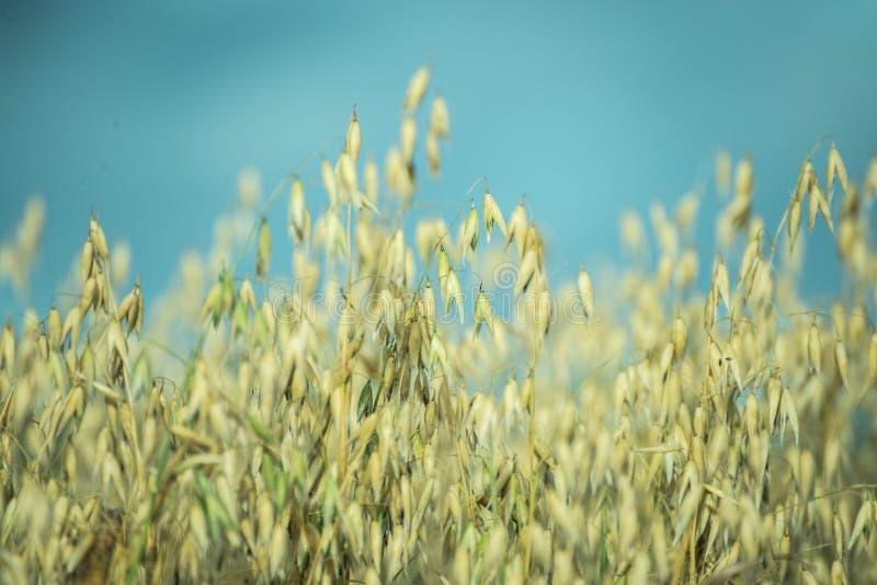 овсы овса поля урожая стоковые фото