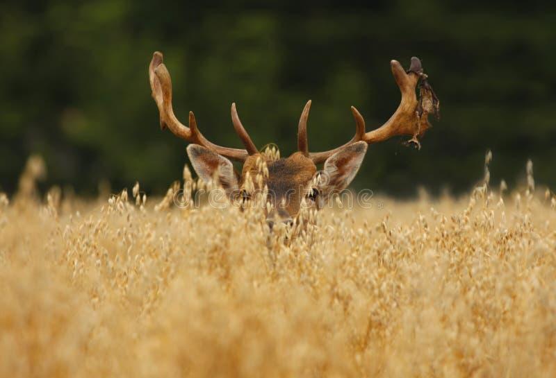 овсы перелога самеца оленя стоковые фото