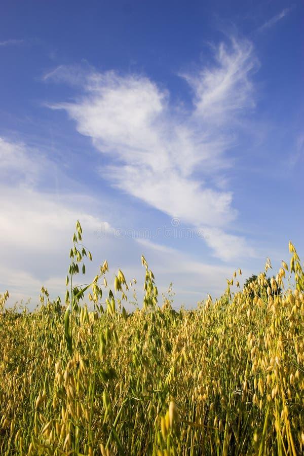 овсы поля стоковое фото rf