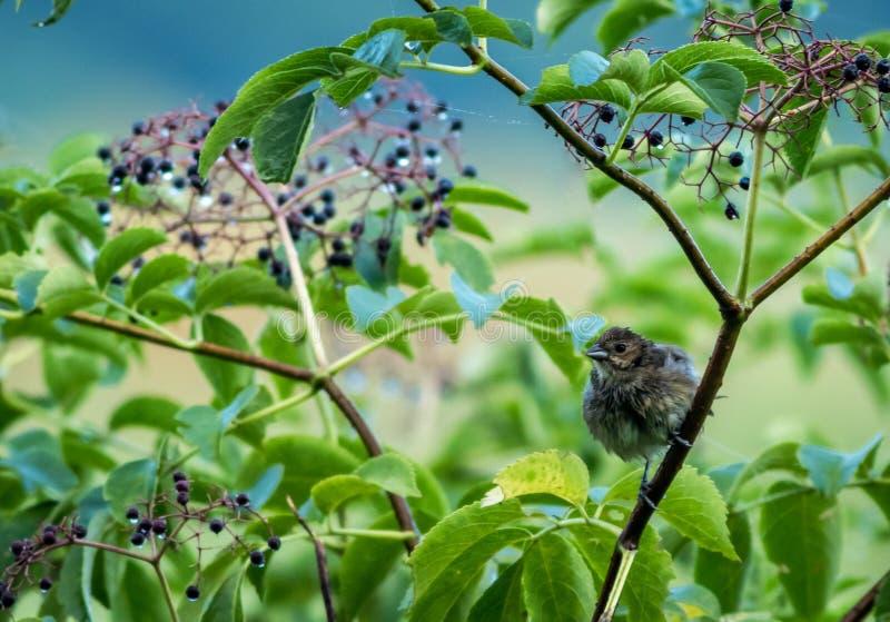 Овсянка индиго Juvenille садить на насест под волшебными ягодами с падениями росы стоковая фотография