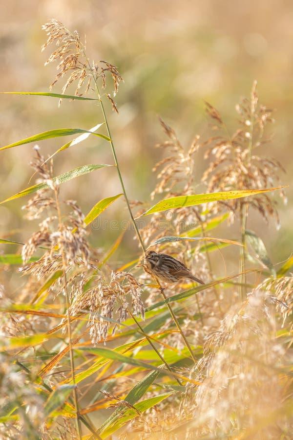 Овсянка Reed ( Emberiza schoeniclus) принятый в Великобританию стоковая фотография