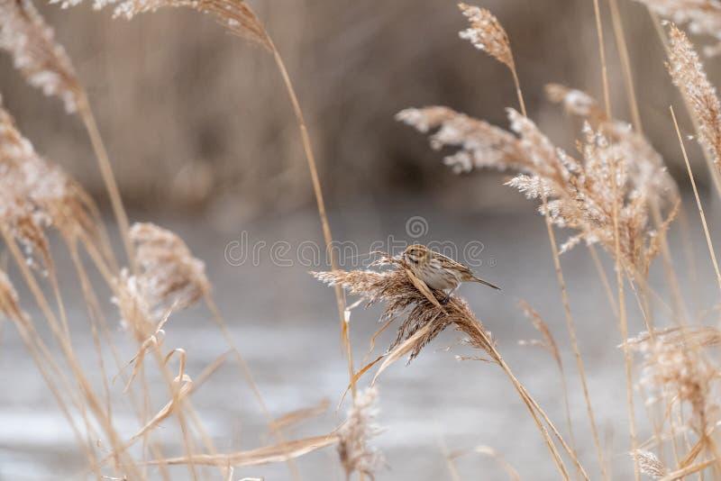 Овсянка Reed ( Emberiza schoeniclus) принятый в Великобританию стоковые изображения