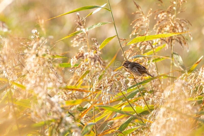 Овсянка Reed ( Emberiza schoeniclus) принятый в Великобританию стоковые фото