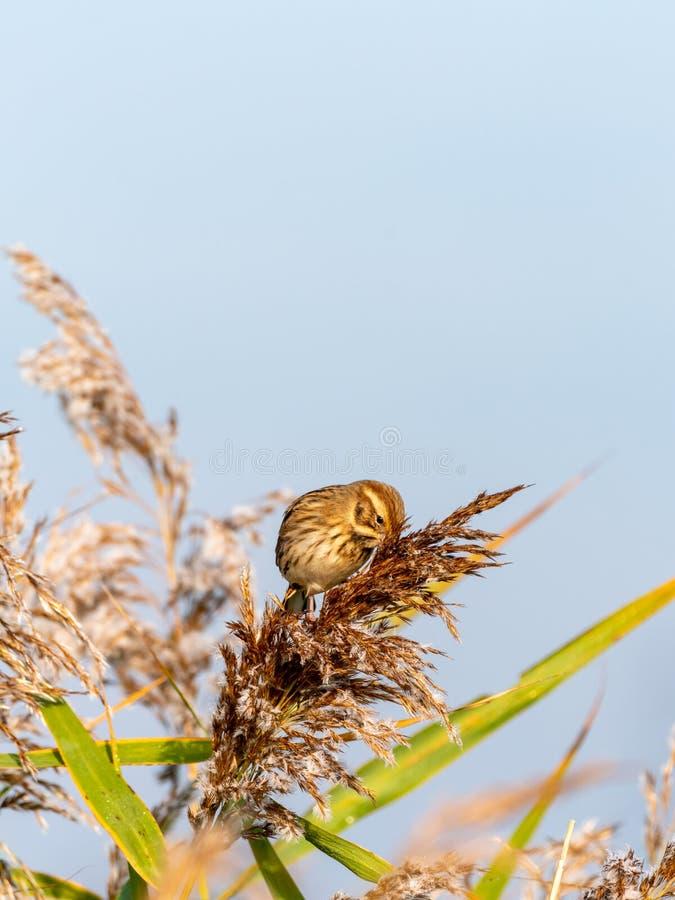 Овсянка Reed ( Emberiza schoeniclus) принятый в Великобританию стоковые фотографии rf