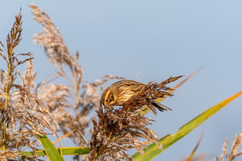 Овсянка Reed ( Emberiza schoeniclus) принятый в Великобританию стоковое фото