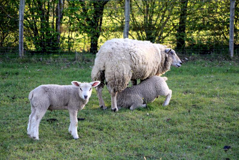 Овца и ее овечки стоковая фотография rf