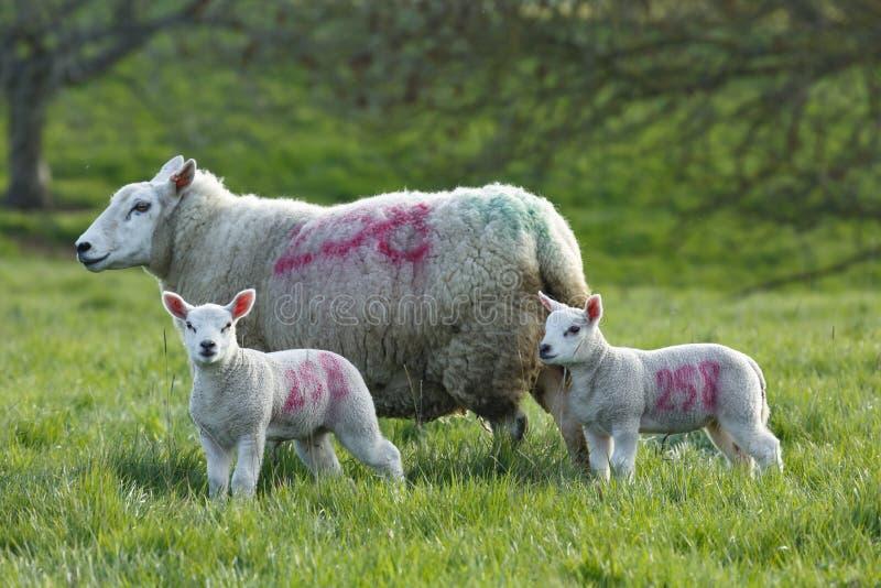 Овца и овечки стоковые изображения rf