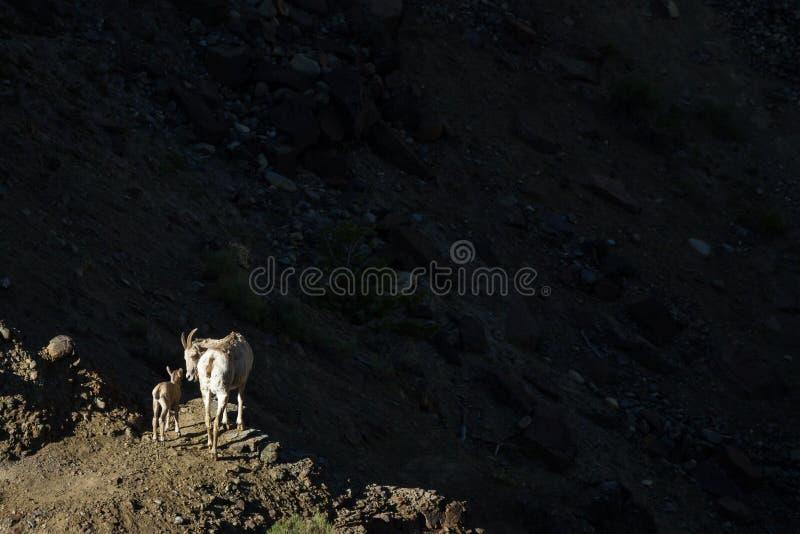 Овца и ребенк осветили вверх против темной тени стоковые изображения