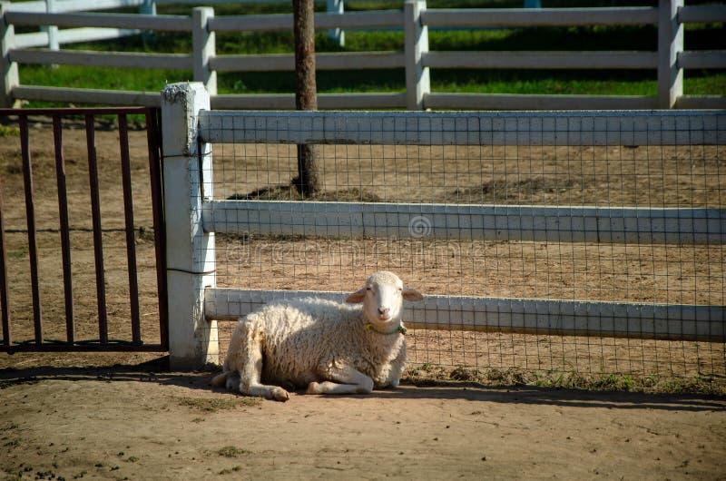 Овца остается на земле перед белой деревянной загородкой стены как предпосылка стоковое фото