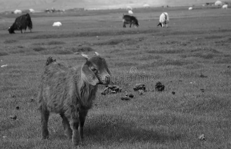 Овца отдыха в прерии стоковое фото