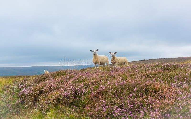 Овца Texel и ее овечка, Йоркшир, Великобритания стоковое фото rf