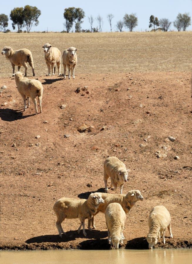 овцы Австралии стоковая фотография