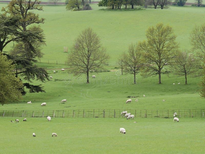 Овцы ландшафта с овечками в Parkland стоковая фотография rf