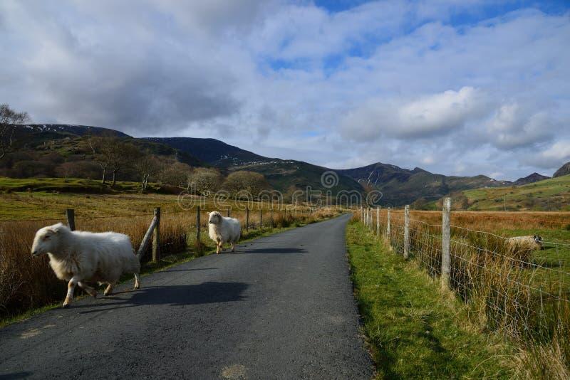 Овцы бежать на сельской майне в Snowdonia стоковое изображение rf