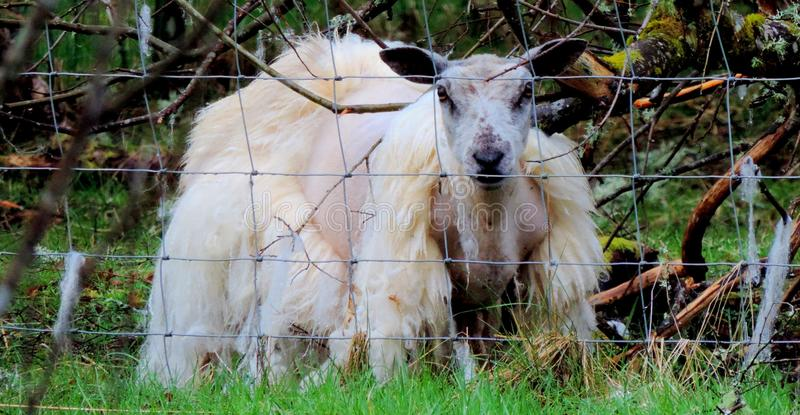 Овцы без шерстей стоковое изображение