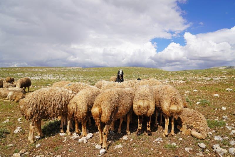 Овцы большого количества отдыхают на луге и одной черной козе стоковые фотографии rf