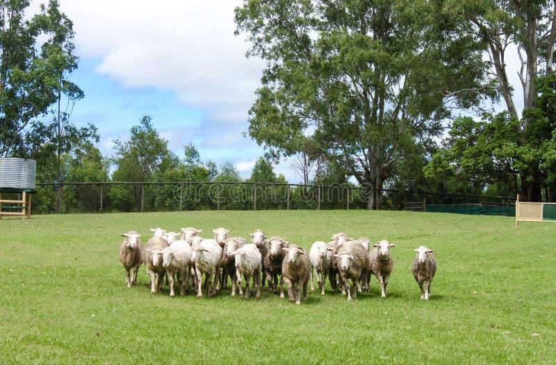 Овцы будучи округлянными вверх по - некоторое стриженое и некоторые с шерстями - в зеленом поле с эвкалиптами и обнести предпосыл стоковые изображения rf