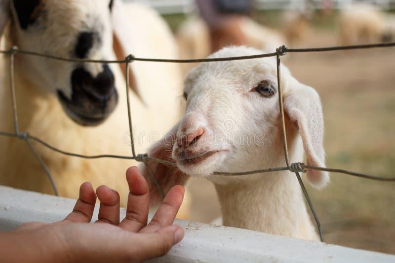 Овцы внутри загородки стоковые фото
