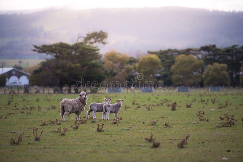Овцы вытаращятся в поле стоковые фото