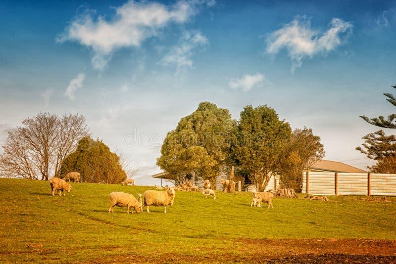 Овцы в Австралии стоковая фотография rf