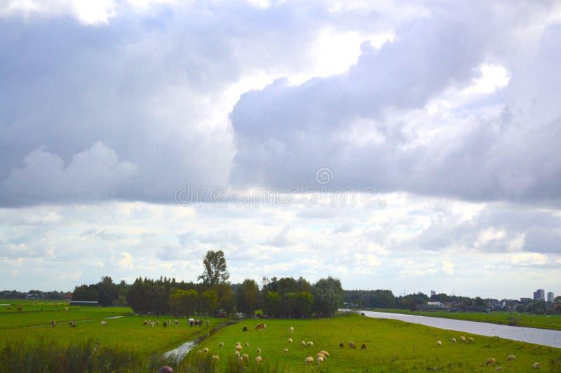 Овцы в Амстердаме стоковые фотографии rf