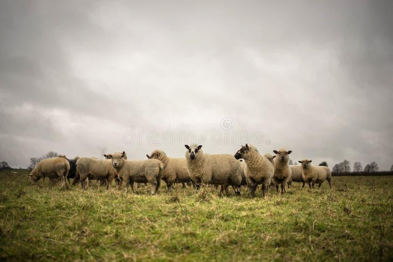 Овцы в ландшафте стоковое изображение rf