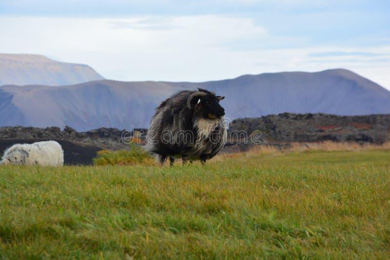 Овцы в ветре стоковое фото rf