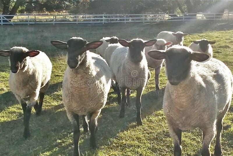 Овцы в волшебной солнечности стоковые изображения rf