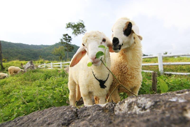 Download Овцы в влюбленности стоковое изображение. изображение насчитывающей романтично - 40580363