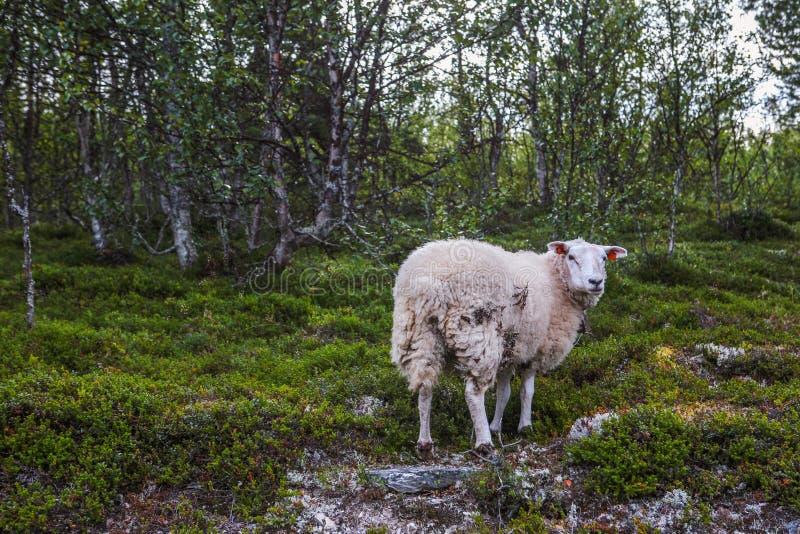 Овцы в горах Скандинавии стоковое фото rf
