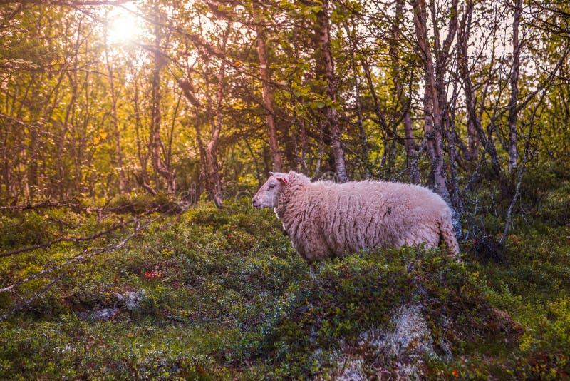Овцы в горах Скандинавии стоковое фото