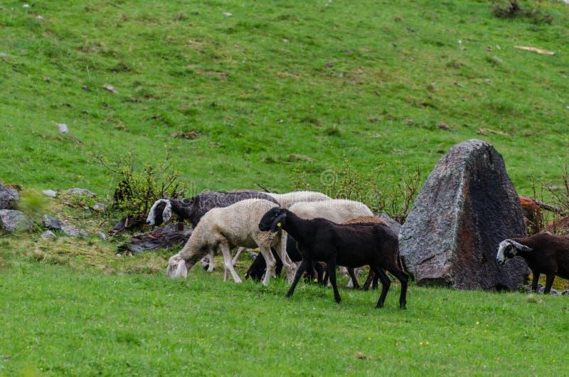 Овцы в горах стоковые изображения