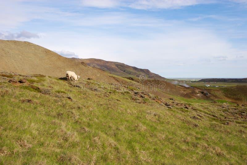 Овцы в злаковиках Исландии стоковые фото