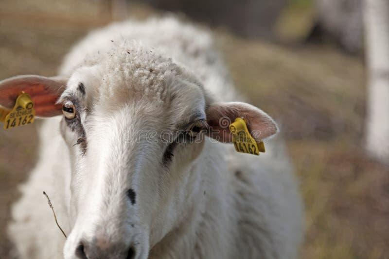 Овцы в конце-вверх во время летнего дня в центре энергии стоковые фото
