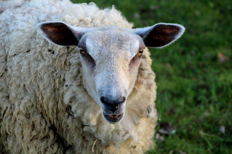 Овцы в конце-вверх стоковая фотография rf